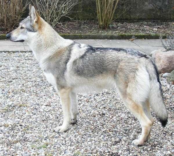 Чехословацкий волк-собака