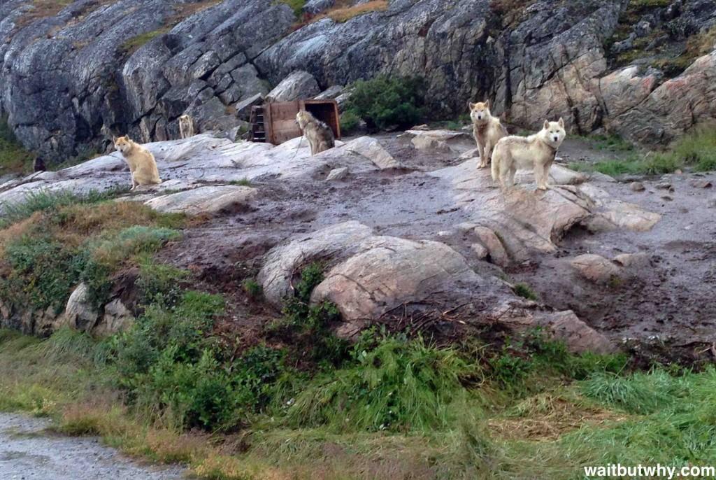 Собаки в Гренландии