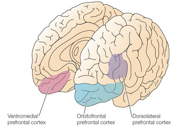 Вентромедиальная префронтальная кора головного мозга, орбитофронтальная кора головного мозга, дорсолатеральная префронтальная кора головного мозга.