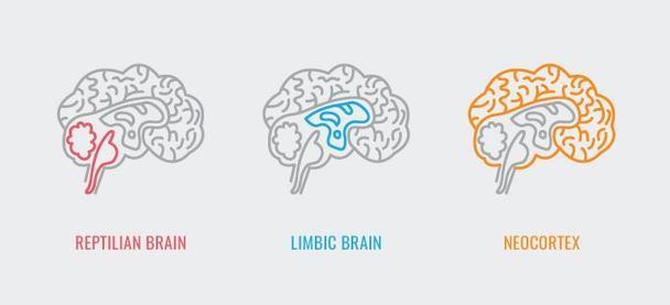 Рептильный мозг, лимбический мозг, неокортекс.