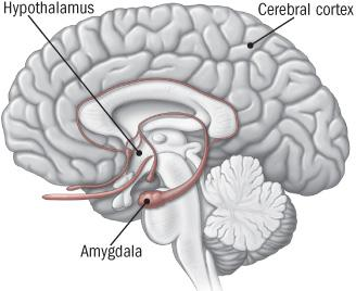 hypothalamus cerebral cortex amygdala areas in brain